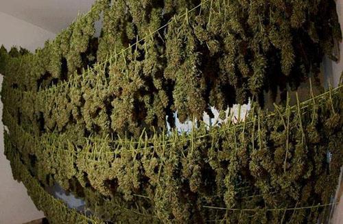 Suszarnia Marihuany, kanabis.info