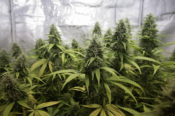 marihuana-2902