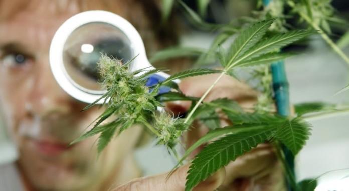 Czy Rzeczywiście Potrzebujemy Więcej Badań Nad Marihuaną?, kanabis.info