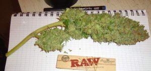 Kannabis w Chinach, kanabis.info