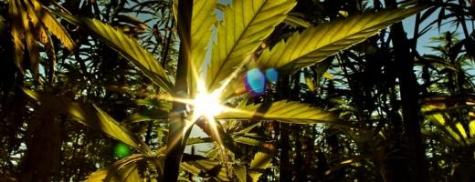 Na co ma wpływ działanie cannabisu?, kanabis.info