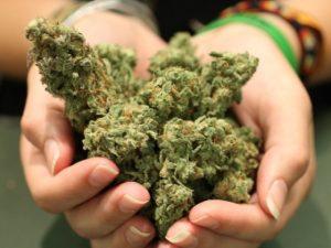 Lista najważniejszych odmian marihuany, kanabis.info