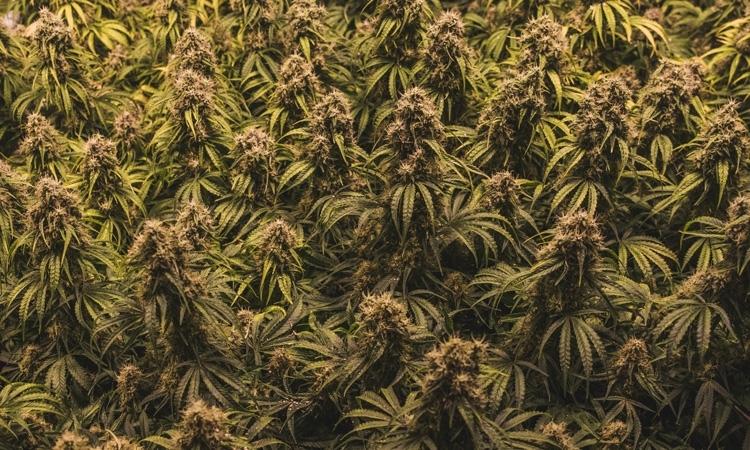 Hodowla konopi w Hamburgu: policja odkryła 5.154 roślin Cannabisu, kanabis.info