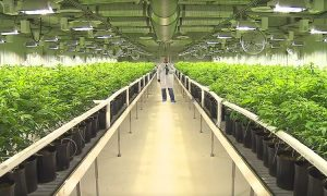 Kanadyjczycy odkupują największego niemieckiego dystrybutora medycznej marihuany, kanabis.info