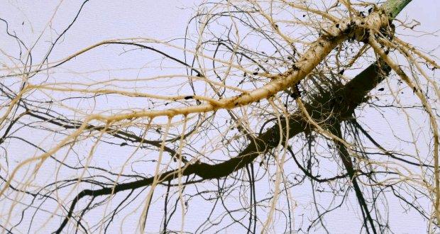 Co robi się z korzeni rośliny konopi?, kanabis.info