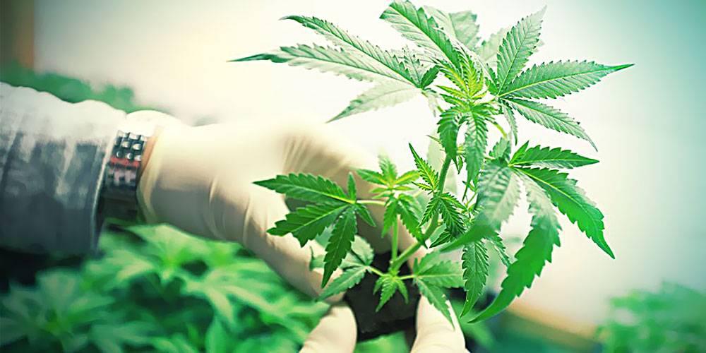 Marihuana... Na Zdrowie?, kanabis.info