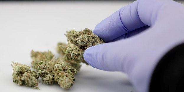 """Farmaceuta z Niemiec na Temat Medycznej Marihuany: """"Chodzi o jakość życia"""", kanabis.info"""
