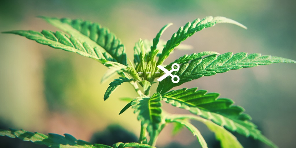 Podstawowe Techniki Przycinania Roślin Marihuany, kanabis.info