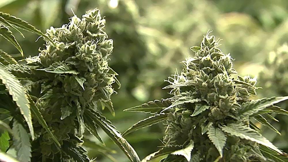 Sąd nad Holenderską Marihuaną, kanabis.info